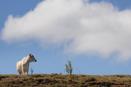 Vaca en los Andes colombianos/Neil Palmer/International Center for Tropical Agriculture
