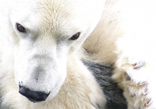 Oso polar. Foto: Arctic Wolf Pictures.