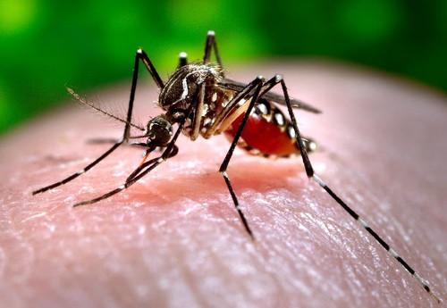Insecto transmisor del dengue/James Gathanay, CDC (CC0)  http://plos.io/2tLEx3T